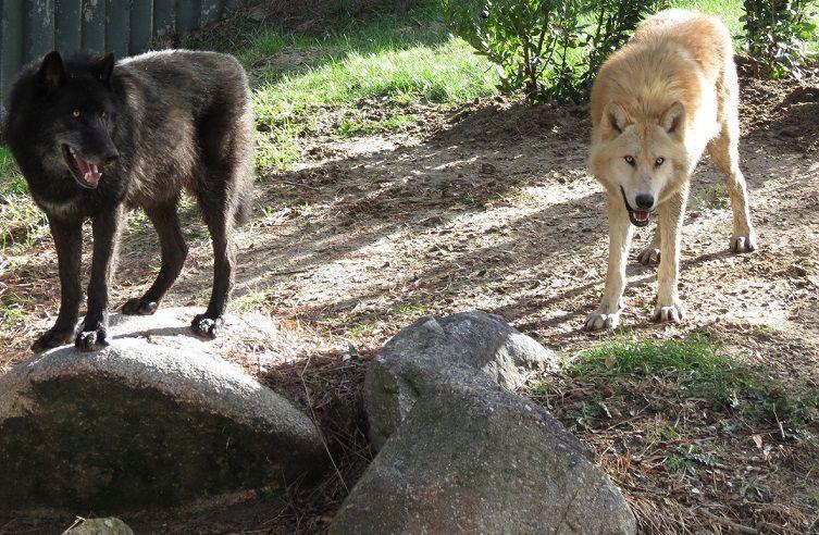 En la actualidad, el lobo gris es una especie que, a pesar de haber sido un mamífero muy numeroso a lo largo de todo el mundo, se está extinguiendo en Europa occidental.