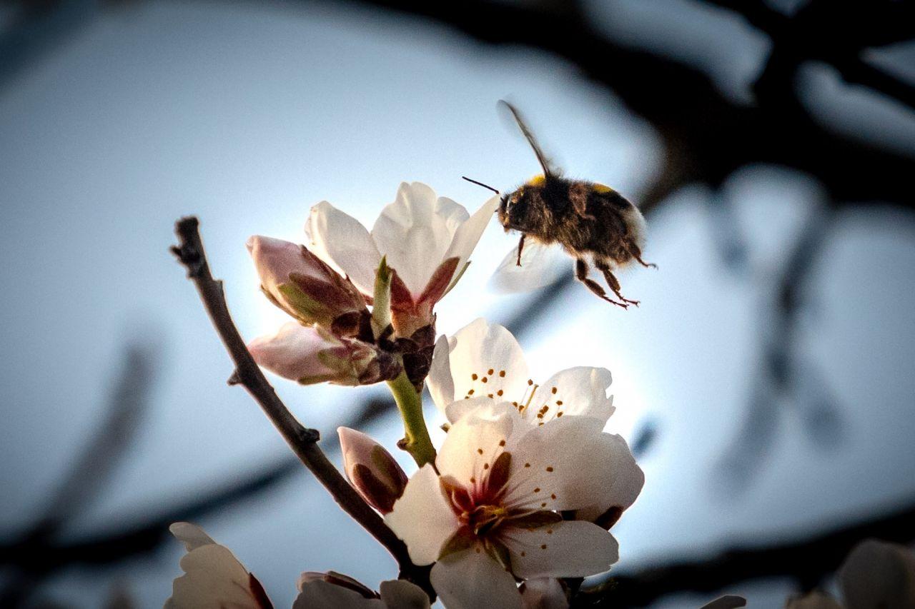 Un zángano de abeja recoge polen de las flores del almendro.