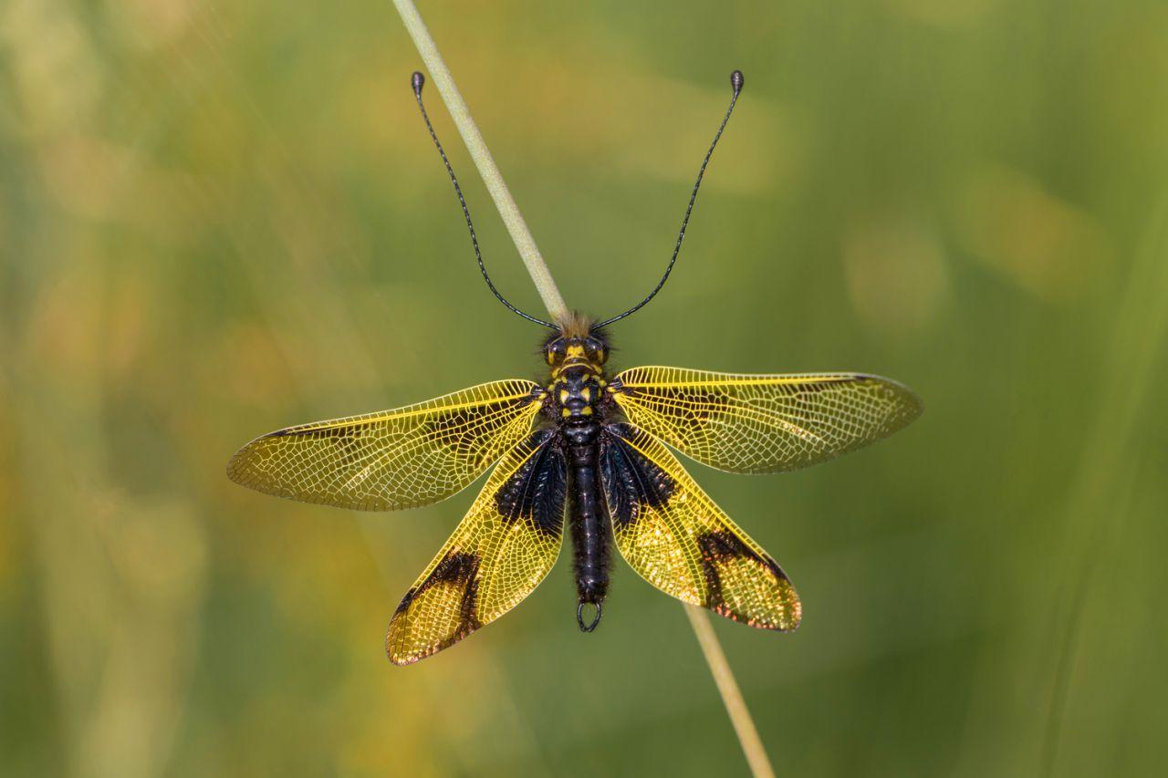Los neurópteros son unos insectos realmente fascinantes.