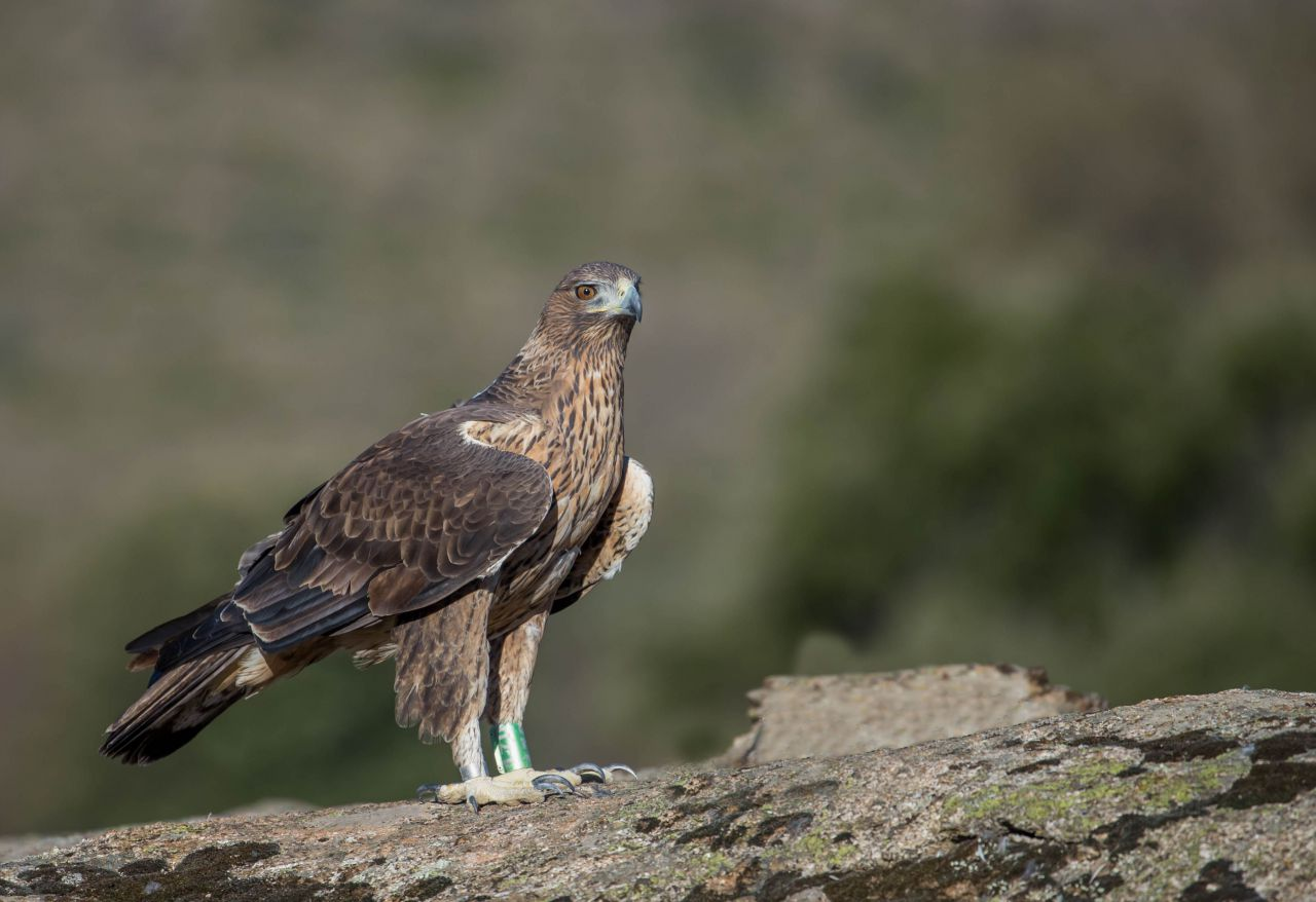 En el desarrollo del programa, unas treinta águilas de Bonelli serán liberadas esta primavera en varias zonas de España e Italia, las cuales tienen poblaciones muy reducidas de esta especie o incluso ya extintas.