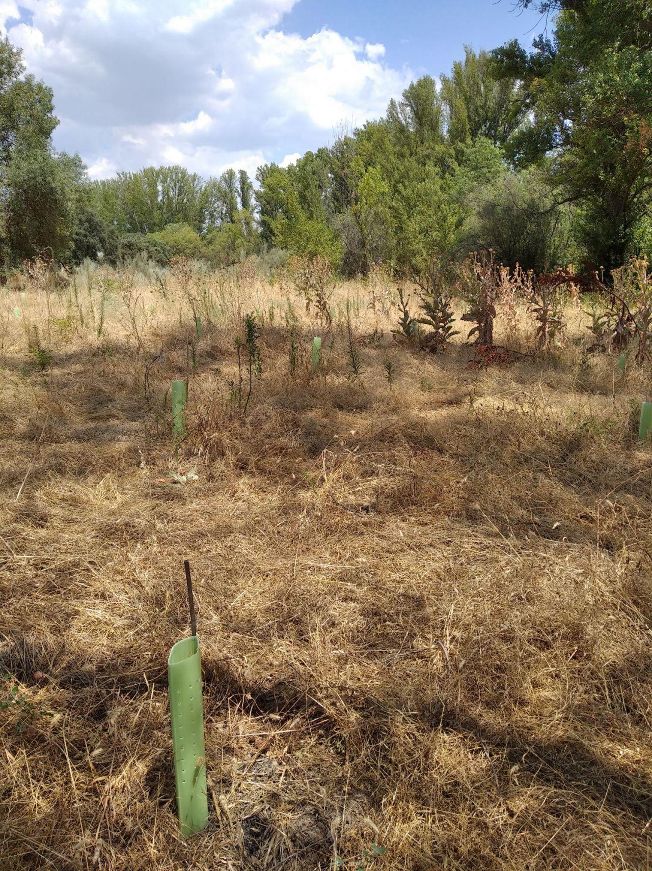 Ecologistas en Acción denuncian que se ha secado el 90 por ciento de los árboles de una repoblación en el Parque de Guadarrama