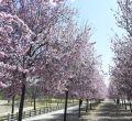 Los ciruelos ornamentales anuncian la llegada de la primavera en Madrid