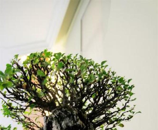 La Rosaleda del Parque del Oeste reúne desde este jueves hasta el próximo domingo, día 28, más de un centenar de bonsáis, entre los que figuran ejemplares pertenecientes al rey Juan Carlos, al ex presidente del Gobierno Felipe González y al Real Jardín Botánico de Madrid.
