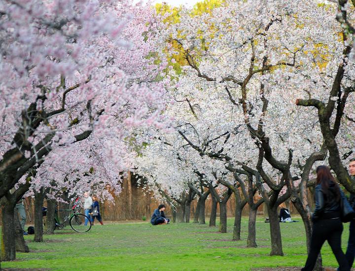 galer a madridiario florecen los almendros en la quinta