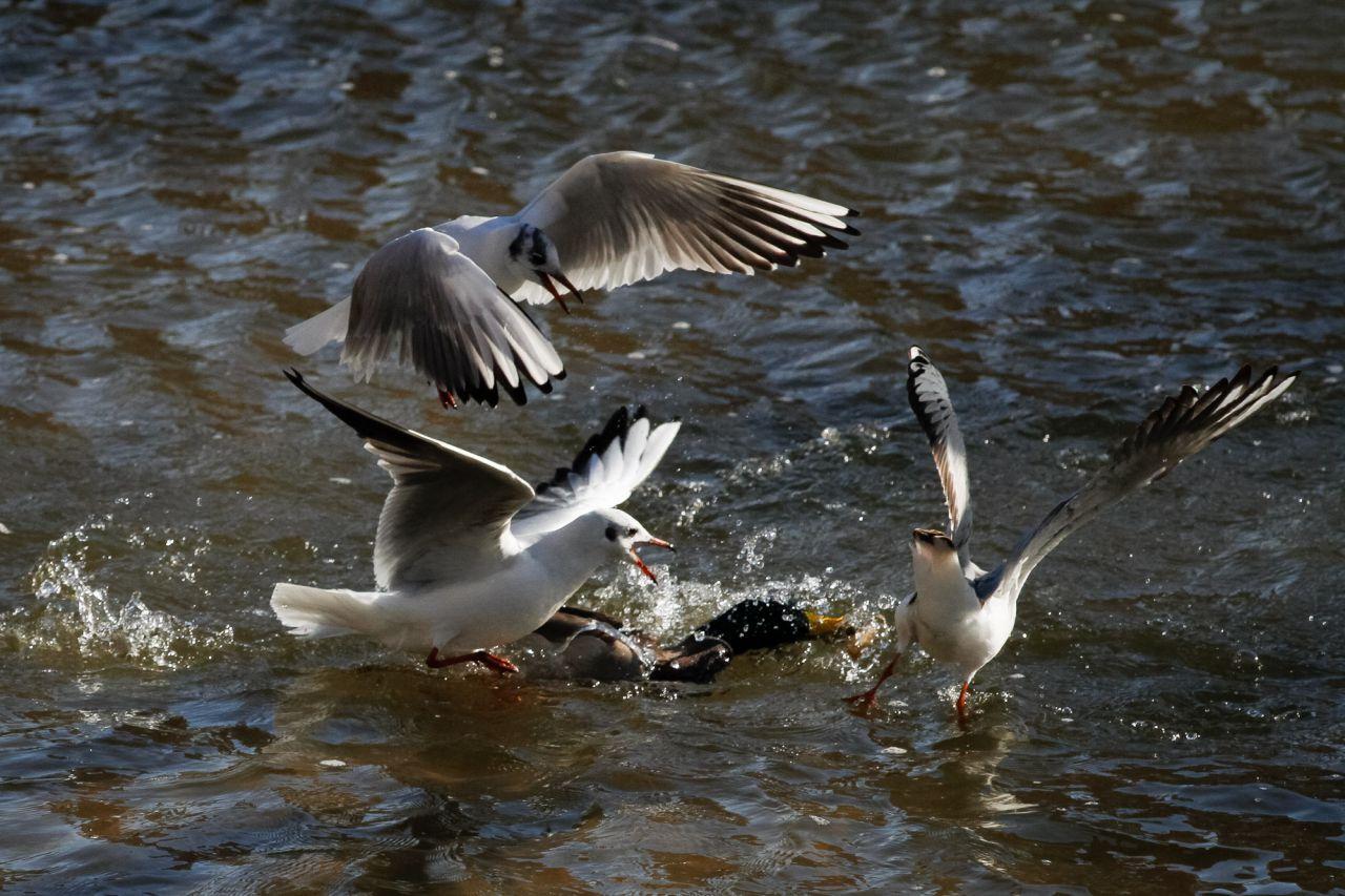 Lucha entre tres gaviotas reidoras (Chroicocephalus ridibundus) y un ánade azulón por un trozo de pan.