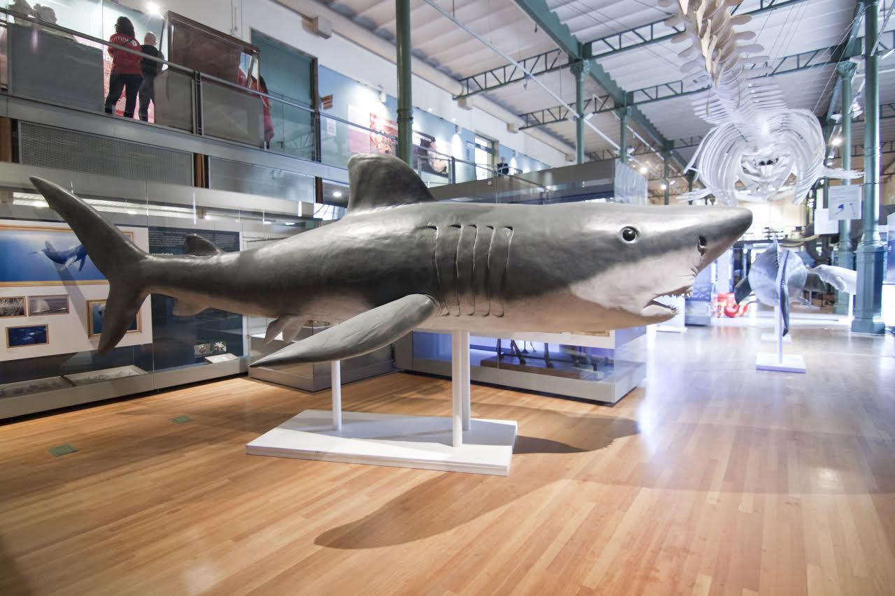 Ubicada en un espacio de 1.000 metros cuadrados, la muestra incluye réplicas de animales marinos a escala real como un tiburón blanco de 6,5 metros.