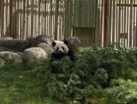 La osa panda del Zoo pierde a su cría