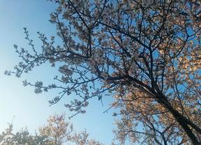 Almendros en flor en Valdebebas