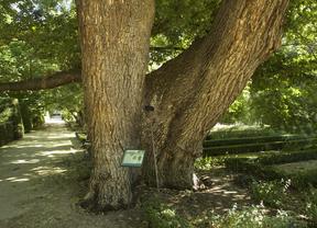 El olmo Pantalones del Jardín Botánico continúa en su lucha contra la grafiosis