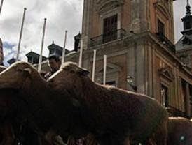 Un rebaño de 600 ovejas ataviesa Madrid para celebrar la Fiesta de la Transhumancia