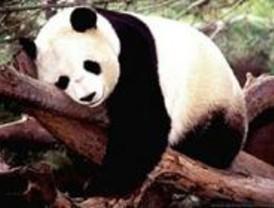 Los pandas que llegan el sábado están en