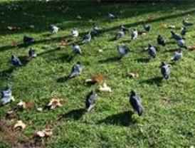 La población de aves urbanas se ha incrementado un 200 por cien en 10 años