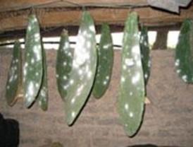 Explotación de plantas medicinales