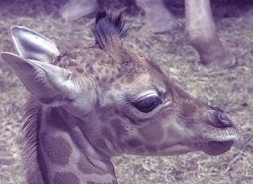 Nace una jirafa en el zoo