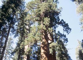 Varios ejemplares de Sequoia sempervirens, árbol perennifolio muy longevo (entre 2.000 y 3.000 años) y uno de los organismos más altos conocidos (alcanza los 115 metros de altura, sin incluir las raíces). Ocupan una franja estrecha de tierra de unos 750 km. de longitud y 8-75 km. de anchura a lo largo de la Costa Pacífica de Norteamérica.