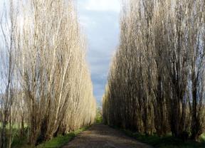 Aranjuez aprueba una ordenanza para proteger sus árboles