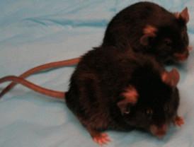 Ratones delgados con dietas ricas... en grasa