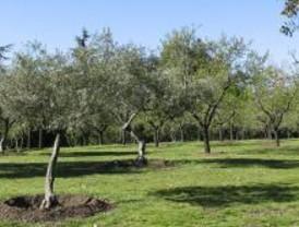 IU denuncia la muerte de medio centenar olivos en Arganda