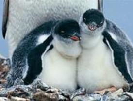 Nacen cuatro pollitos de pingüino en Faunia