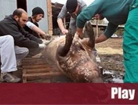 La matanza del cerdo vuelve a la sierra