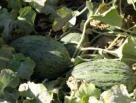 Los otros melones de Villaconejos