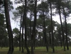 Frente a la sequía pinos con variabilidad genética
