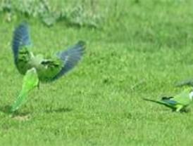 La población de cotorra argentina sigue creciendo y sólo en la Casa de Campo hay ya más de 100 nidos