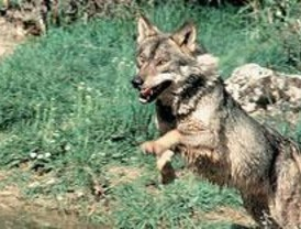 El lobo ha vuelto a Somosierra
