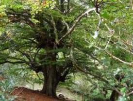 El haya, un árbol de otoño