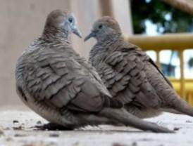 El perfecto patógeno invasor de las aves