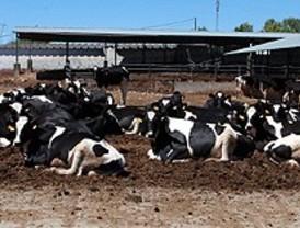 Mozart libera de estrés a las vacas