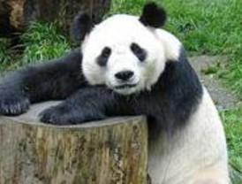 La pareja de pandas cedida por China volará a Madrid el 8 de septiembre