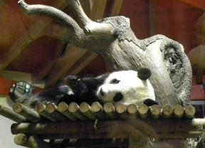Un oso panda gigante podría nacer en el próximo mes