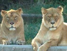 Los cuidadores del Zoo rescatan a un hombre que saltó al foso de los leones