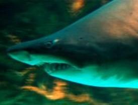 El Zoo celebra la Semana Europea del Tiburón
