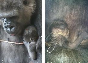 Una nueva gorila hace crecer la familia del Zoo