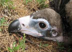 Un buitre del parque de Guadarrama muere por las aspas de un aerogenerador