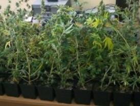 Desmantelada una plantación de marihuana