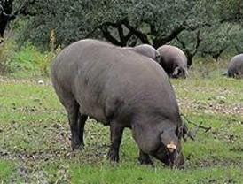 Mejora del ciclo productivo del cerdo ibérico
