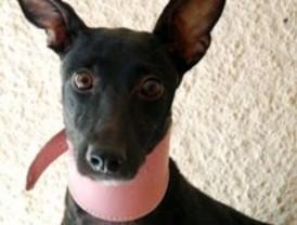La asociación El Refugio recoge a una perra tras un rescate que ha durado un año y medio