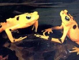 Mas de 160 anfibios en peligro se reintroducen en Peñalara