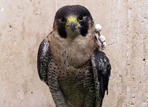 Disparan en Móstoles a uno de los halcones de la capital