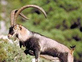 CCOO y Ecologistas critican que se abra la veda para la cabra montés