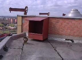 Una pareja de halcones anida en el 12 de Octubre