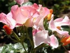Un rosal francés gana el concurso internacional de rosas en el Parque del Oeste