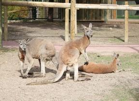 El canguro rojo, el más grande de los marsupiales, en Faunia
