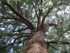 El cedro del Himalaya, un árbol ornamental