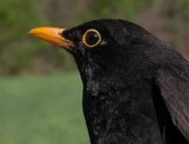 Mirlo común, un ave de bello canto
