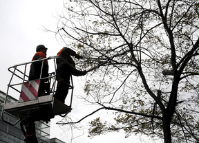 Podando un árbol en Madrid.