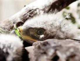 Nacen por primera vez cuatro crías de águila perdicera sin inseminación artificial